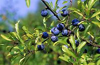 Gewöhnliche Schlehe, Schwarzdorn, Früchte, Prunus spinosa, Blackthorn, Sloe