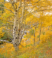 Fall colors along the trail to Bridal Veil Falls Rocky Mountain National Park near Estes Park Colorado. September 1990 - 4x5.