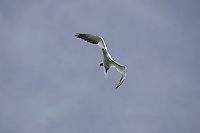 Bird Northern Gannet Morus bassanus or Sula bassana flying over sea
