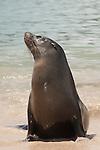 Santa Fe Island, Galapagos, Ecuador; a Galapagos Sea Lion (Zalophus wollebaeki) in the water, on the beach with the lagoon on the eastern edge of Santa Fe Island in the background , Copyright © Matthew Meier, matthewmeierphoto.com All Rights Reserved