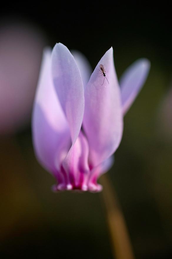 Greece, Meteora, Cyclamen (Cyclamen purpurascens)