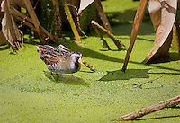 Sora standing in duckweed in Florida