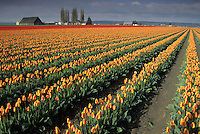 Field of red and orange tulips in rows, Mount Vernon, Skagit Valley, Washington