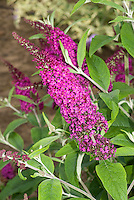 Buddleja davidii 'Burgundy' TN8