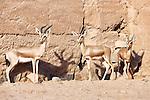 Gazelle in the Sahara desert, Morocco.