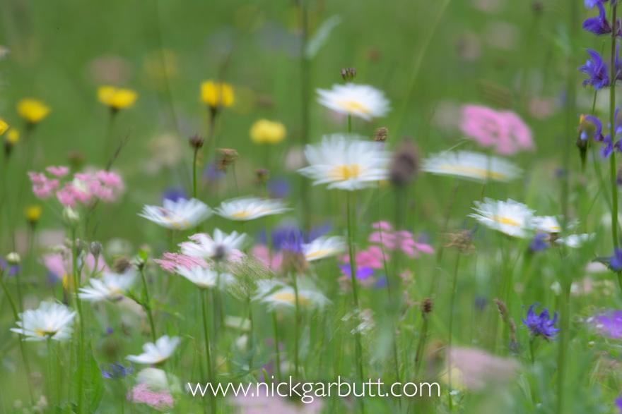 Mixed floral display including, Oxeye Daisy (Leucanthemum vulgare), Viper's Bugloss (Echium vulgare), Mountain Arnica (Arnica montana), Meadow Clary (Salvia pratensis) and Greater Burnet-Saxifrage (Pimpinella major),  in mountain meadow. Nordtirol, Austrian Alps, Austria, July.