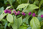 American beautyberry (Callicarpa americana) is one of the colorful plants at the San Antonio Botanical Gardens in San Antonio, Texas.  American beautyberry can be found throughout the southern United States in hardiness zones 7-10.