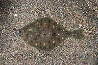 Kliesche, Limanda limanda, dab, common dab, Plattfisch, Platt-Fisch