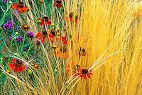 Perennial flower, Helenium autumnale 'Morheim Beauty' with grass (Stipa tenuissima) in California garden
