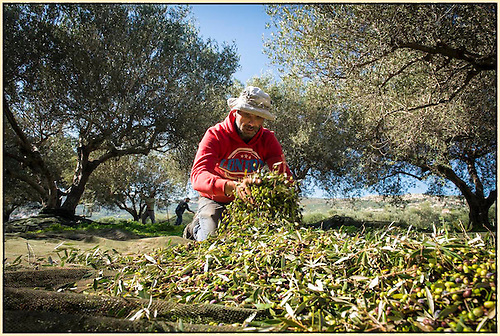 Gathering olives in Crete