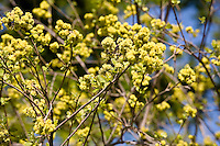 Yellow flowers of Cornelian Cherry in early spring (Cornus mas).