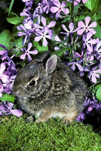 Baby cottontail rabbit, Lepus sylvaticus, hides in garden under lavender sweet William flowers