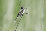 Reed Bunting, Emberiza schoeniclus, Male, Elmley Marshes, Kent, UK, singing, calling perched on reed