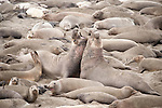 San Simeon, California; two adult male Northern Elephant Seals (Mirounga angustirostris) fight with each other amongst females and pups on the beach, the fights establish dominance and breeding rights for that particular section of the sandy beach