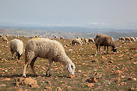 Sheep grazing on the mountain above the reservoir formed by the Sidi Chahed Dam, built 1990s, in the El Kalaa Zerhoun region in Northern Morocco, 30km from Fes and Meknes. Picture by Manuel Cohen