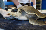 Sea Turtle, Inc., wildlife rescue group saving injured Kemps Ridley Sea Turtle, South Padre Island, Texas, USA
