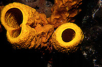 MARINE LIFE: REEFS<br /> Yellow tube sponge; Interior<br /> Yellow tube sponges are filter-feeders, common throughout the Caribbean, Florida and the Gulf of Mexico. Often found in areas exposed to strong currents which provide the sponge with a constant supply of food particles to filter from the water.