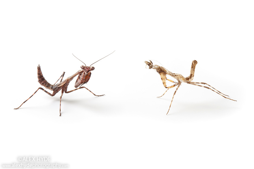 Bud Wing Mantis {Parasphendale Affinis} juvenile photographed next to recently shed skin, photographed on a white background. Captive, originating from Africa.