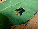 Tortoise beetle Cassidinae coleoptera