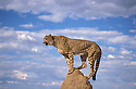 Cheetah on Termite mound. Namibia.Cheetah on termite mound. The future of the Cheetah is in the balance. The population of cheetahs in Namibia has declined by half in the last ten years, if left unchecked this would soon lead to their extinction. Cheetah. Cheetahs are Africa's most endangered cat, less than 15,000 remain in 26 African countries, and less than 50 found in Iran, the last of the Asian cheetah. Namibia is the Cheetah Capital of the World with approximately 3,000 free-ranging individuals of which 95% are outside protected areas on commercial livestock and game farms, resulting in conflict with humans.