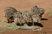 574470038 wild gambel's quail chicks callipepla gambelli forage along the ground in green valley arizona united states