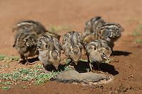 574470038 wild gambel's quail chicks callipepla gambelli forage along the ground in green valley arizona united states