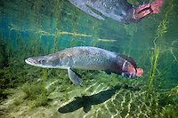RB3385-D. Pirarucu (Arapaima gigas), 1.7m long and 75kg. One of world&rsquo;s largest freshwater fishes, historically growing to more than 3m long and 200kg, now threatened in places due to overfishing. Special air bladder allows it to breathe air. Amazonian Basin, Brazil, South America.<br /> Photo Copyright &copy; Brandon Cole. All rights reserved worldwide.  www.brandoncole.com