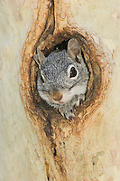 Arizona Gray Squirrel, Sciurus arizonensis, adult in Sycamore Tree Hole, Madera Canyon, Arizona, USA