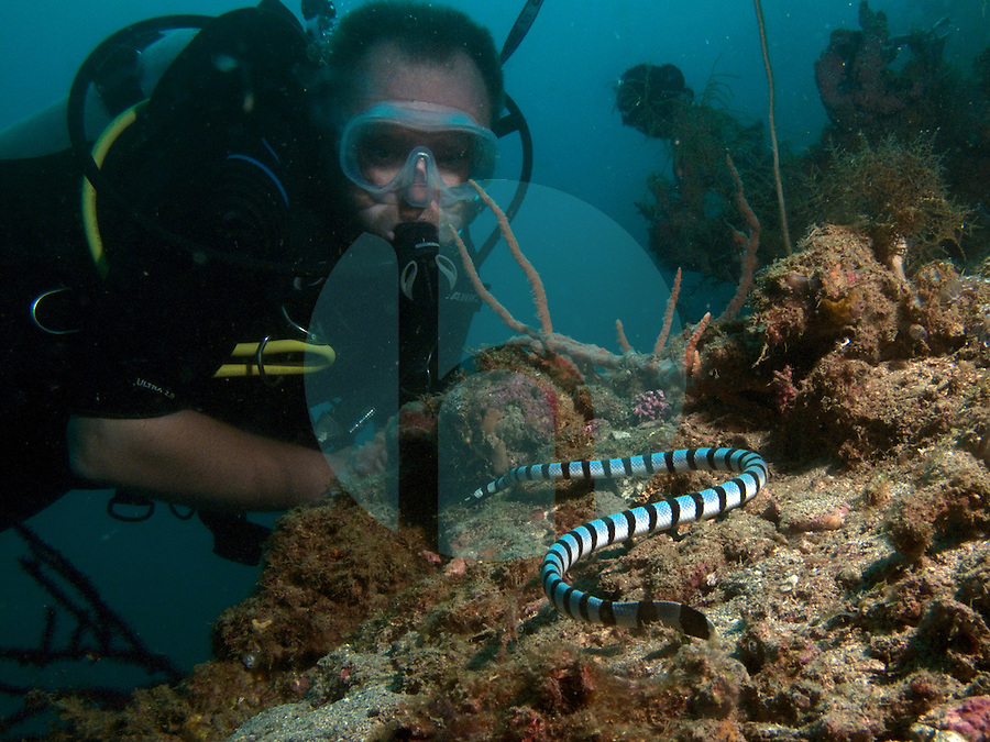 August 20th, 2009_TIMOR-LESTE_ A banded sea snake patrols the coral at a popular dive site East the Timorese capital city of Dili known as K-57.  Diving is a popular past time in Timor, which is Asia's newest nation and in the process of rebuilding their economy. Photographer: Daniel J. Groshong/Tayo Photo Group