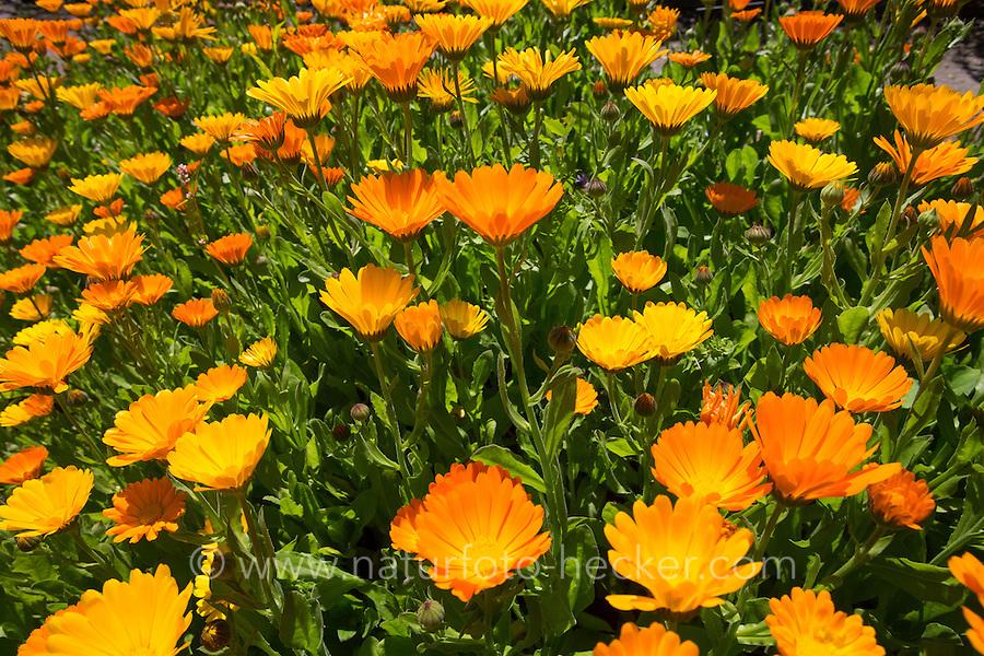 Ringelblume, Garten-Ringelblume, Calendula officinalis, pot marigold, ruddles, common marigold, garden marigold, English marigold, Scottish marigold, Souci, Souci officinal, Souci des jardins