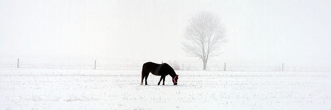 I had a bad case of cabin fever one day in February and vowed to get out of the house the very next morning. I threw the camera in the truck and left about 7:30 with no destination in mind, just get out and ramble. Ten miles later, there she was, a solitary black mare in the new snow wearing a brand new red halter. I'm fairly convinced it was meant to be.<br />