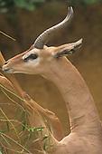 Male Gerenuk (Litocranius walleri) standing on its hind legs feeding, Africa.