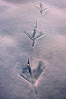 Raven footprints in the snow, bathed in the warm light of sunset.