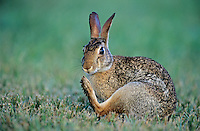 Eastern Cottontail, Sylvilagus floridanus, adult scratching, Welder Wildlife Refuge, Sinton, Texas, USA