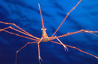 MARINE LIFE: REEFS &amp; DIVERS<br /> Arrow crab<br /> Arrow crabs are small, nocturnal scavenger invertebrates with spider-like appendages commonly found in saltwater reefs in the Atlantic Ocean and Gulf of Mexico.