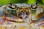 Freshwater Crab face (Potamon fluviatile), Europe