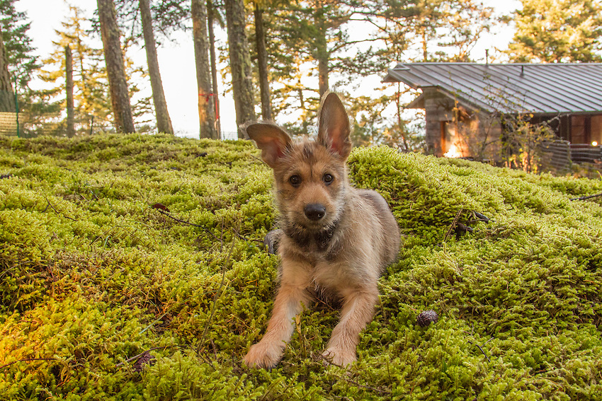 Images of rare Picard Shepherd (Berger Picard) puppy named Quinn and his adventures on Orcas Island, Washington.