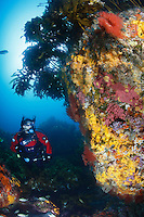 qj0011-D. scuba diver (model released) in dry suit explores colorful rocky reefs covered in sponges and kelp and busy with fish. Poor Knights Islands Marine Reserve, New Zealand, Pacific Ocean.<br /> Photo Copyright &copy; Brandon Cole. All rights reserved worldwide.  www.brandoncole.com<br /> <br /> This photo is NOT free. It is NOT in the public domain. This photo is a Copyrighted Work, registered with the US Copyright Office. <br /> Rights to reproduction of photograph granted only upon payment in full of agreed upon licensing fee. Any use of this photo prior to such payment is an infringement of copyright and punishable by fines up to  $150,000 USD.<br /> <br /> Brandon Cole<br /> MARINE PHOTOGRAPHY<br /> http://www.brandoncole.com<br /> email: brandoncole@msn.com<br /> 4917 N. Boeing Rd.<br /> Spokane Valley, WA  99206  USA<br /> tel: 509-535-3489