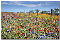 Along a fencerow in the Texas Hill Country, bluebonnets and firewheels color the hillsides in a splash of blues and reds. Each spring in central Texas, a myriad of Texas wildflowers come alive and paint entire fields with their beauty.