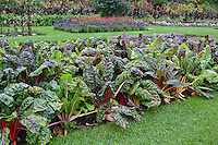 A decorative and edible planting of colorful Bright Lights chard in a public garden.