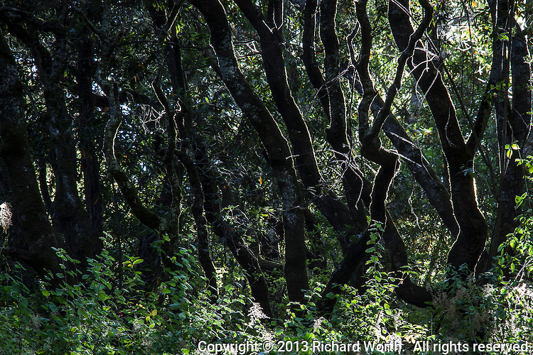 Tree trunks bend and angle in the woods at Anthony Chabot Regional Park in Oakland, California.