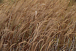Broadleaf cattail, Yakima River, Washington