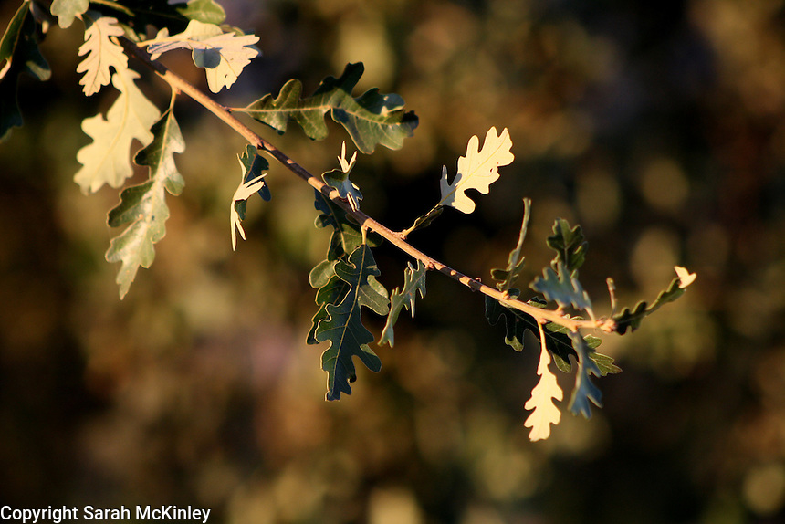 The late afternoon sun highlights a young branch of valley oak leaves on a tree outside of Willits in Mendocino County in Northern California.