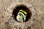 Shorthead fangblenny (Petroscirtes breviceps) hides in a glass bottle