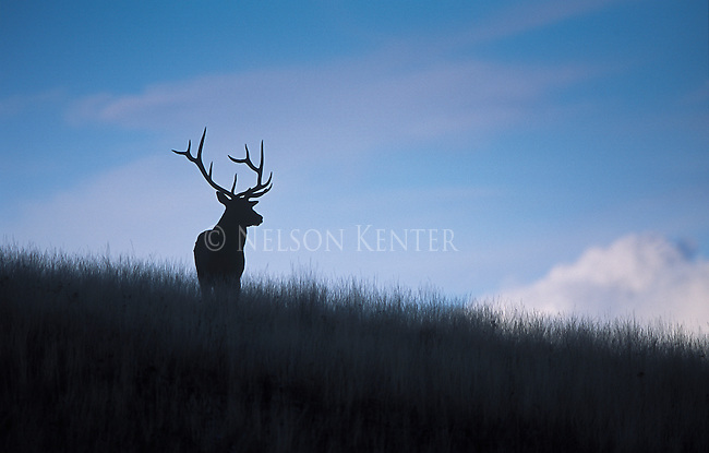 Bull elk silhouetted against a blue sky at dusk in Montana