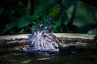 In a flurry of feathers and spraying water, a Golden-crowned sparrow takes a bath at the Butterfly Garden next to the Visitor Center at Coyote HIlls Regional Park along San Francisco Bay.