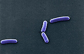 """Bacillus subtilis Bacteria, with one reproducing sexually by fission. SEM X 11,000  4.5"""" X 6.5"""""""