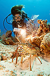 Panulirus argus, Spiny lobster, diver, Grand Cayman