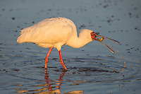 An African Spoonbill scoops up a frog for breakfast in the Timbavati, South Africa