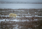 A polar bear prowls the coast of Hudson Bay, Manitoba, Canada.